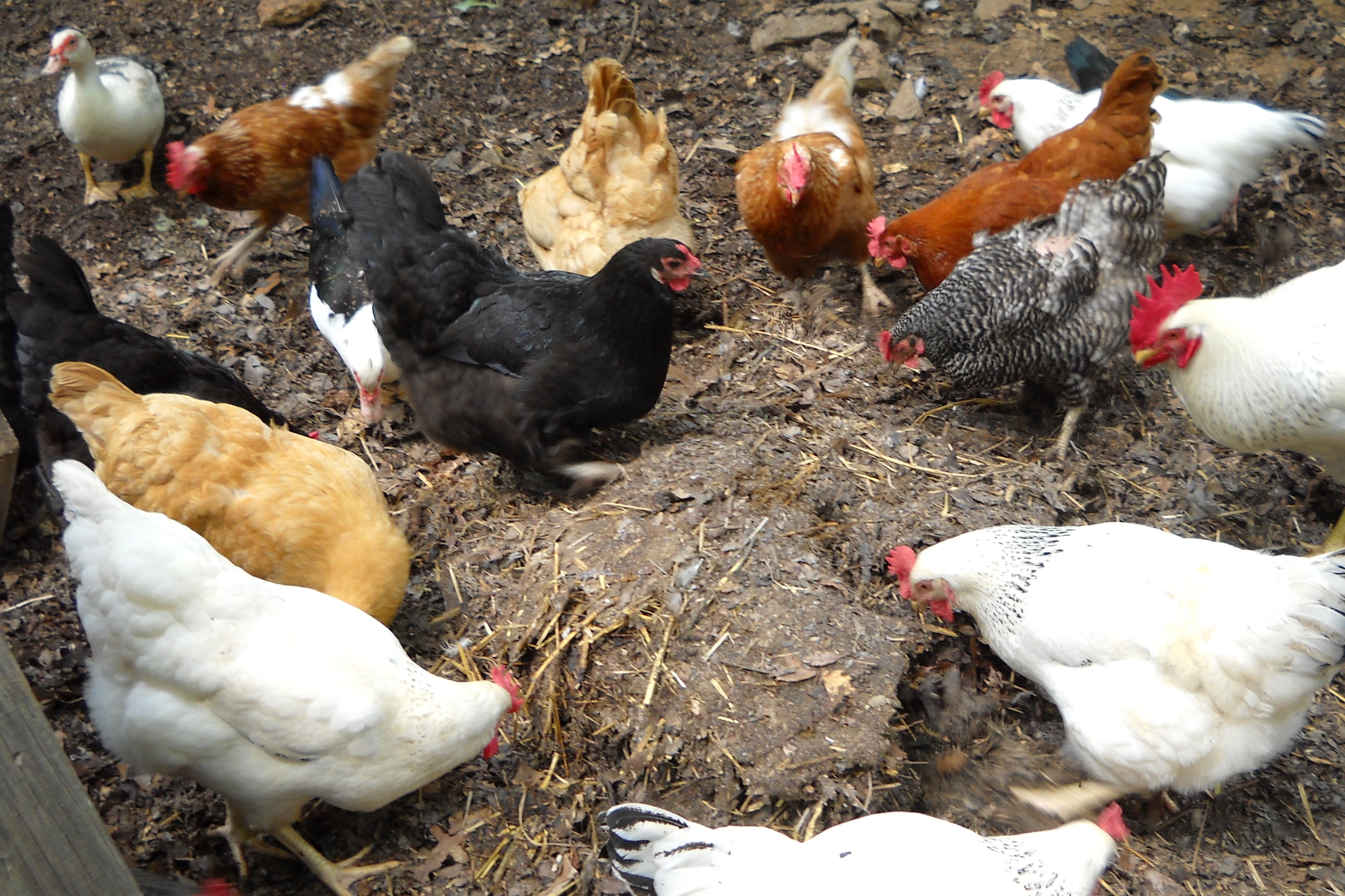 backyard chickens ruffled feathers and spilled milk