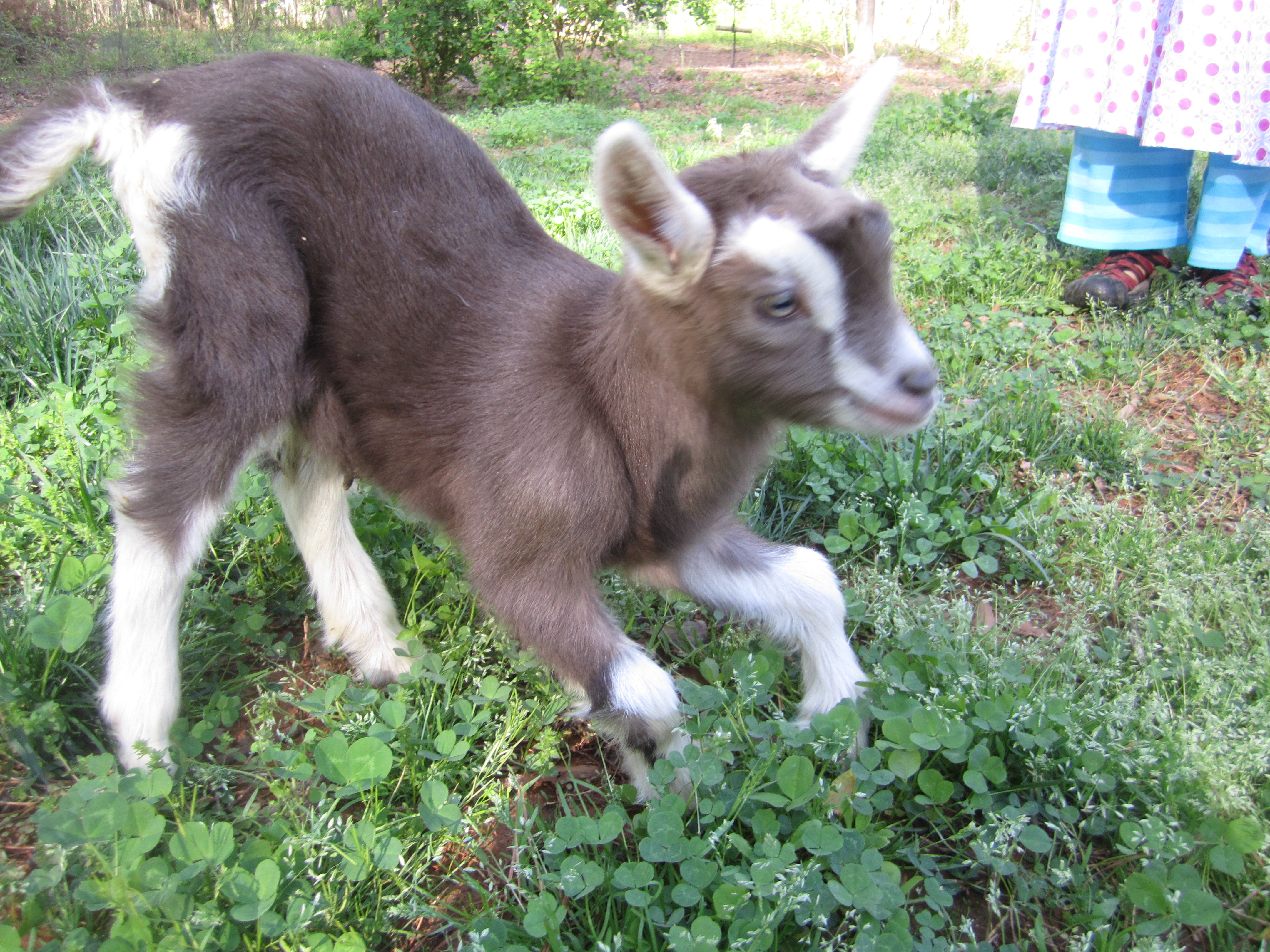 Baby Goat Jumping And ...