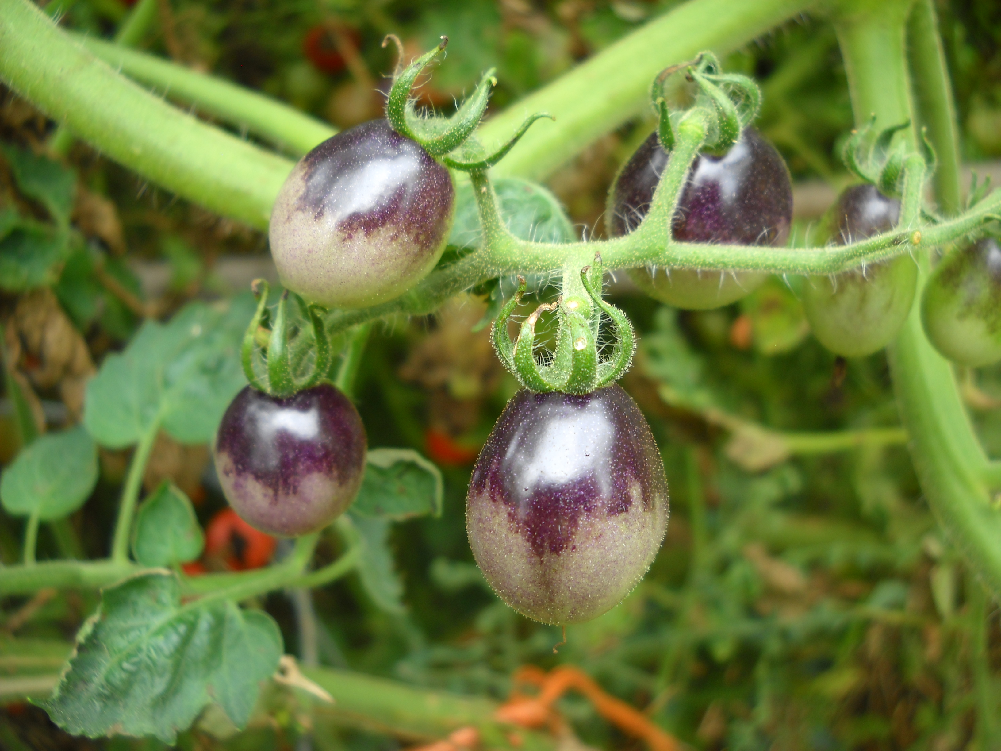 Truth in Tomatoes. : Ruffled Feathers and Spilled Milk